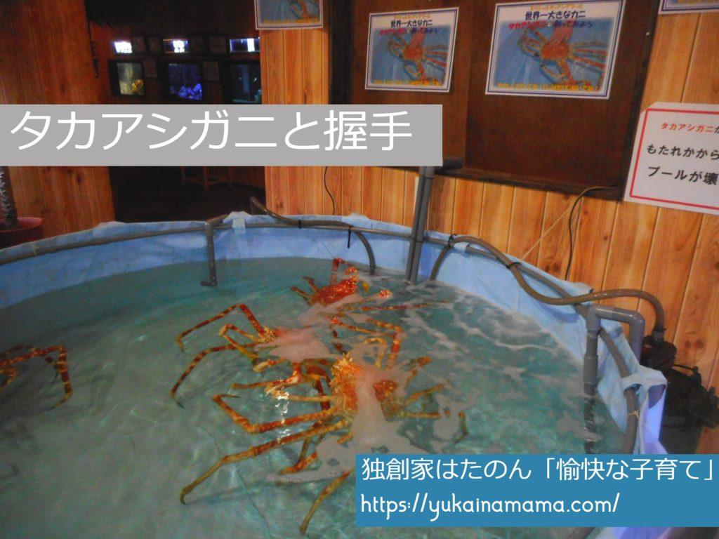 エビとカニの水族館で触れることができるタカアシガニ