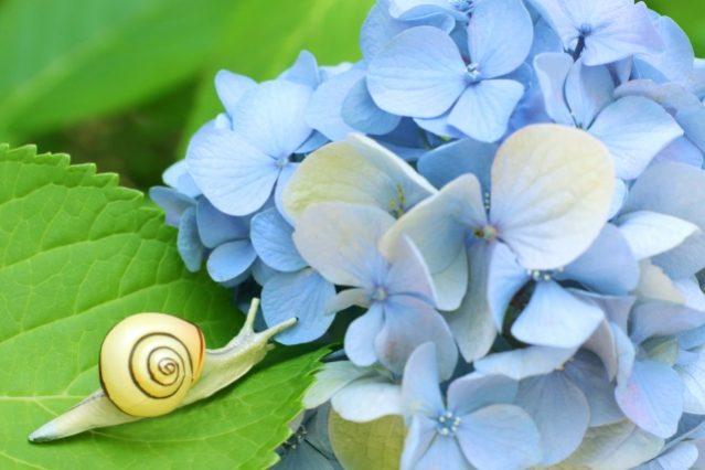 青い紫陽花の葉っぱの上を歩くカタツムリ