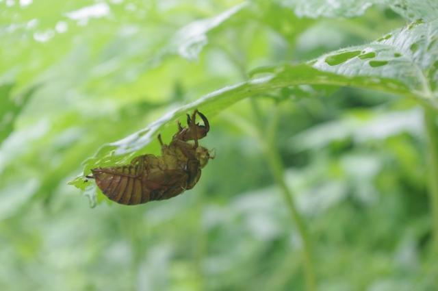 葉っぱの裏にくっついたセミの抜け殻