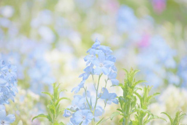 夏に咲く青い花