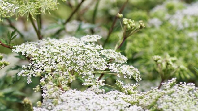 せり科トウキの花はアブラムシがよく集まるらしい