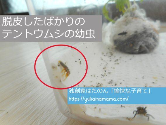 透明で薄い黄色をした脱皮したばかりのテントウムシの幼虫