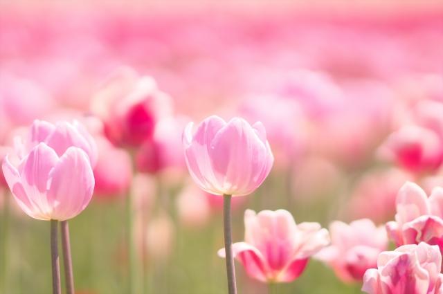 心を癒すピンク色のチューリップたち