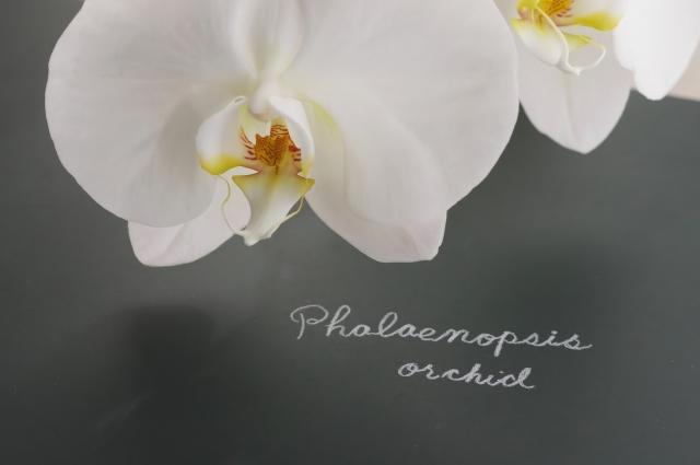 白くて可愛い胡蝶蘭