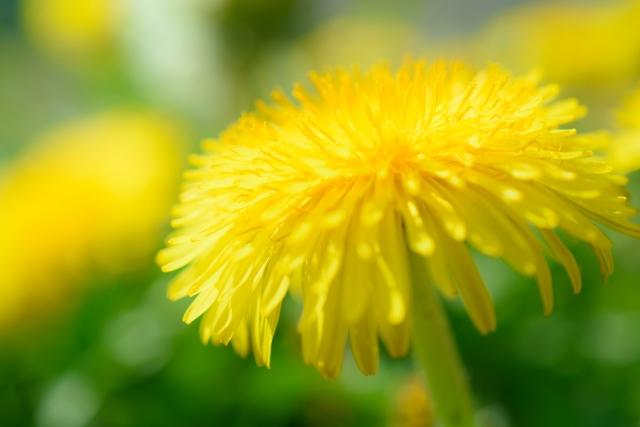 ふわふわと夢を運ぶ黄色いタンポポ