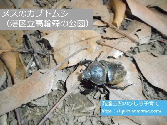 港区立高輪森の公園で見つけたメスのカブトムシ