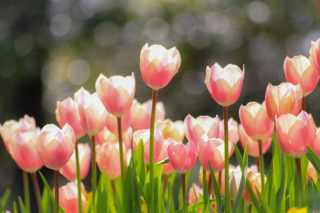 チューリップの花言葉は思いやり