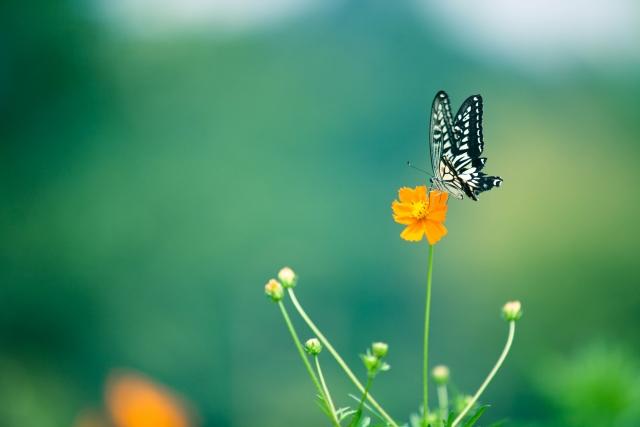 オレンジのコスモスのとまる蝶々