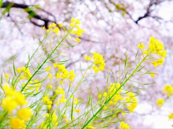菜の花が印象に残る、桜のある風景
