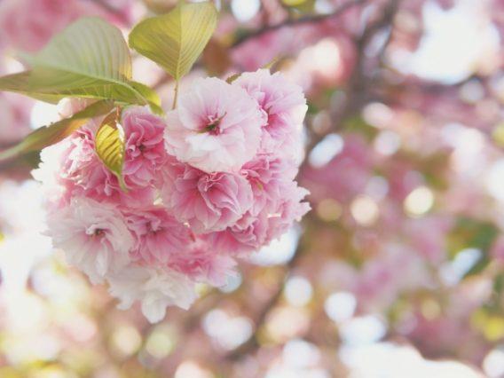 春の香りがする牡丹桜