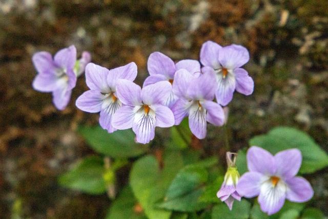 春の花、すみれ