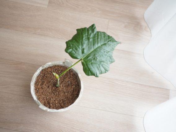 ウンベラータ(観葉植物)の新芽