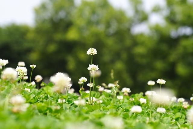 花が咲いたクローバー