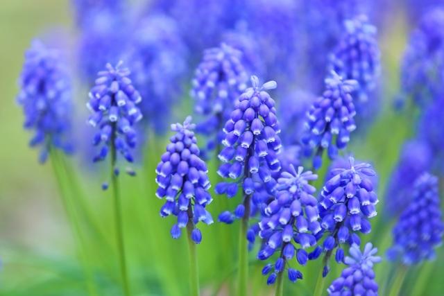 青い花、ムスカリ