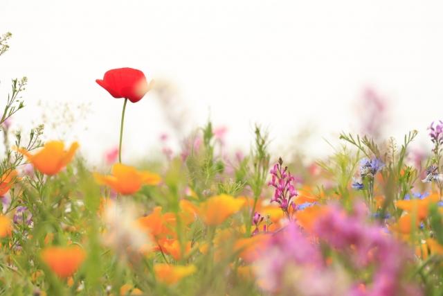 ガーベラが咲きほこる花畑